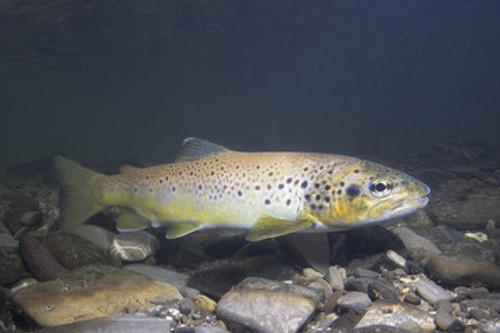 Fisch im Abschnitt Längenmühlbach 1, Mamming.
