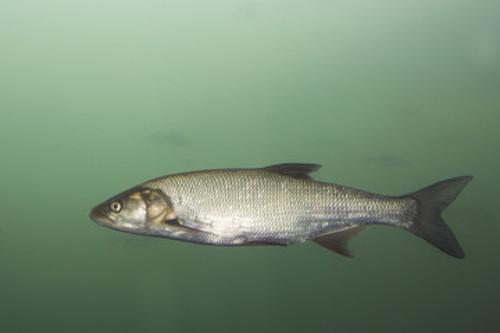 Fisch im Abschnitt Sickergraben rechts, 2.